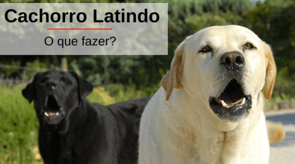 Cachorro_Latindo