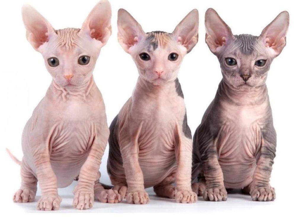Gato da raça Sphynx