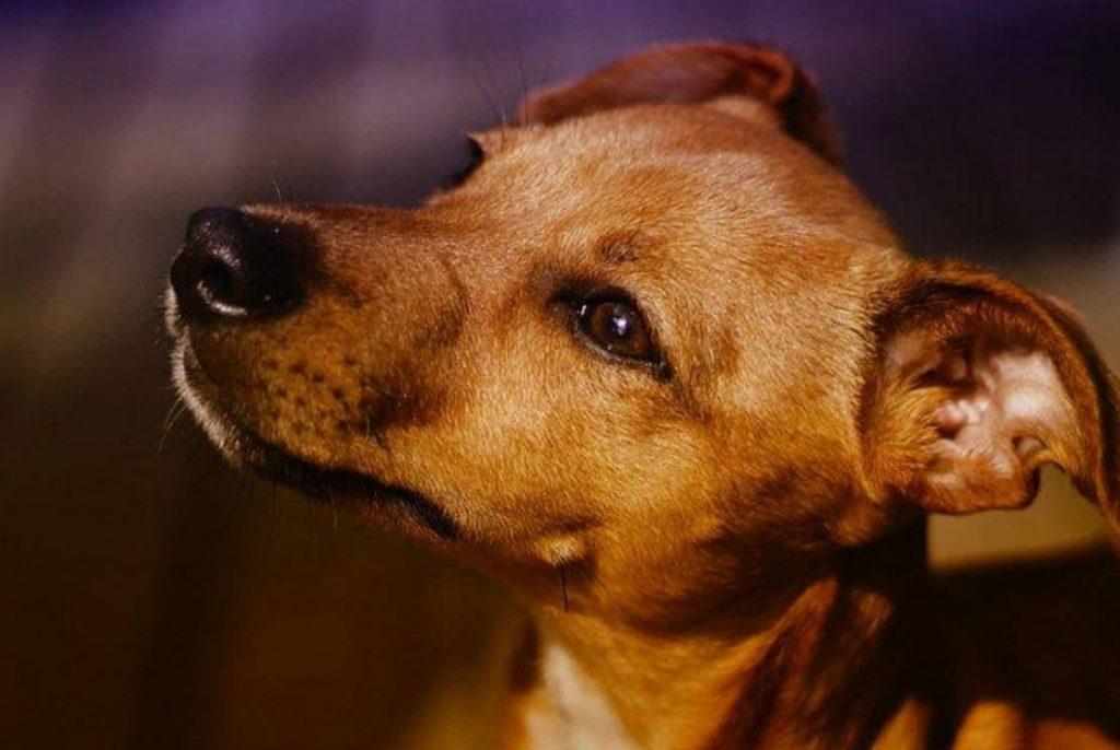 Cachorro SRD para apartamento