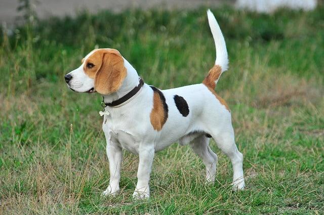 Beagle em pé - posição de cão ativo