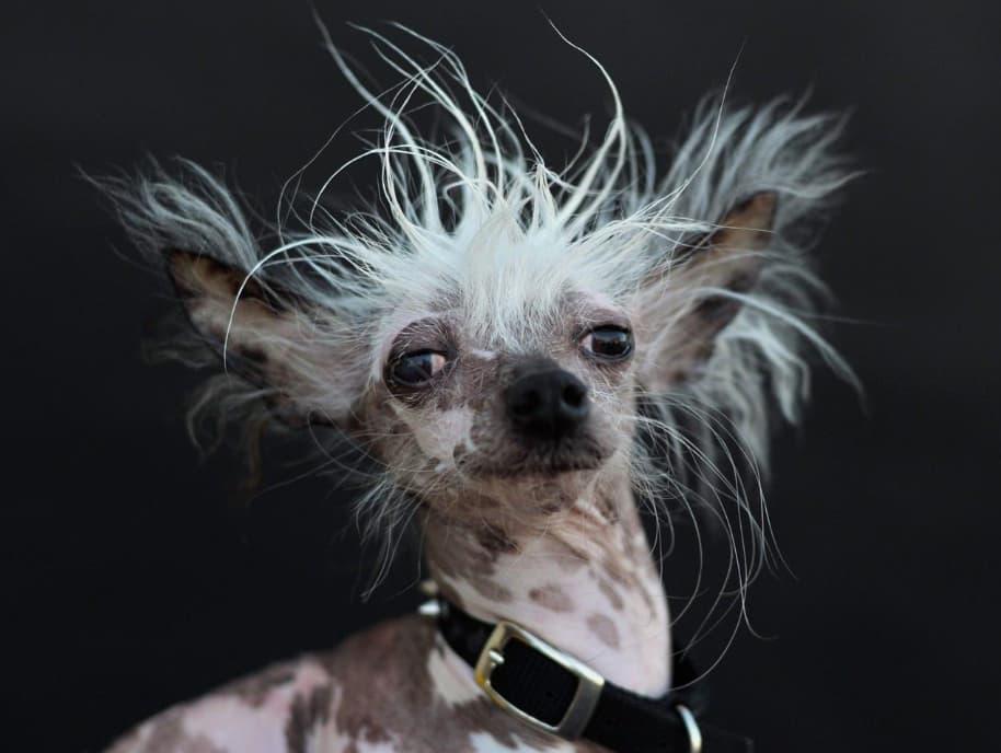 Cachorro mais feio do mundo 6