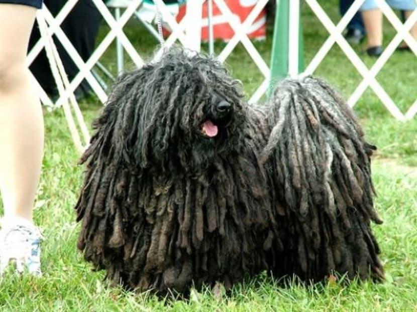 Raça de Cachorro mais feio do mundo 3