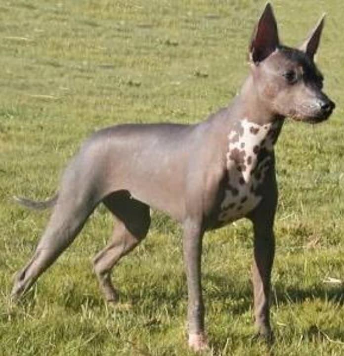 Raça de Cachorro mais feio do mundo 5