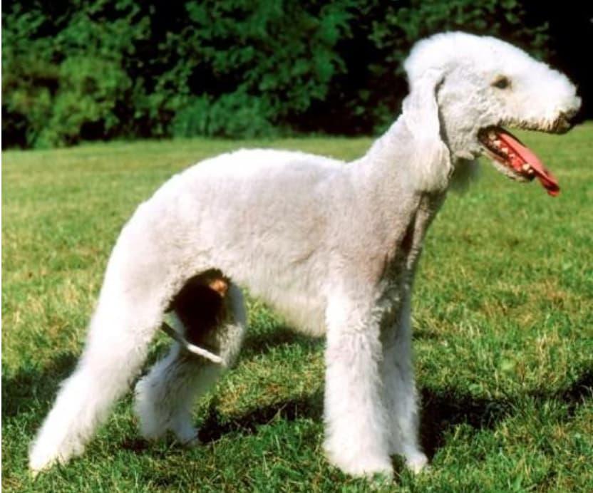 Raça de Cachorro mais feio do mundo 7