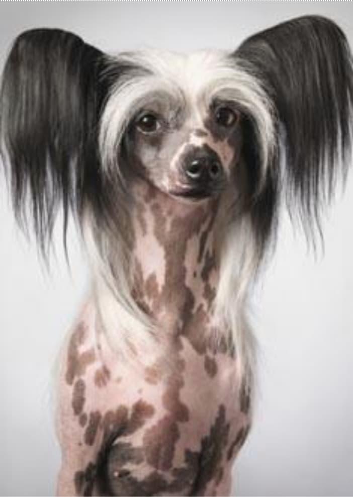 Raça de Cachorro mais feio do mundo