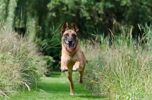 Adestramento de cão adulto