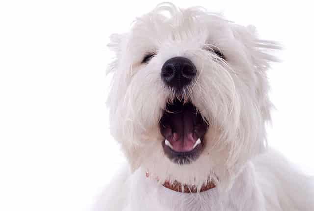 Cachorro latindo pro nada