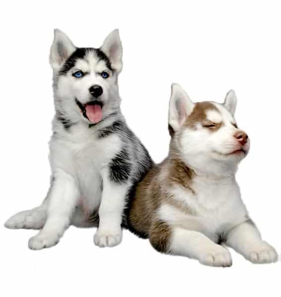 Filhotes de Husky Siberiano preço