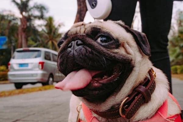 Cães de raças braquicefálicas ficam mais ofegantes