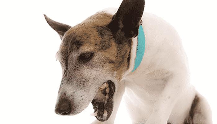 Cachorro tossindo o que pode ser e o que fazer